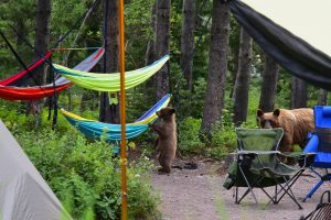 a bear cub paws at a hammock while the mama bear looks on